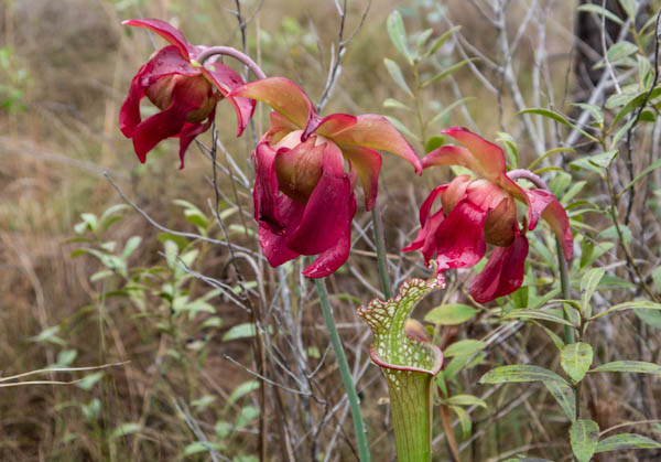 pitcher-plant-flowers