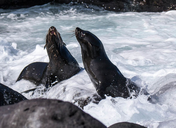 Galapagos Fur Sea Lions