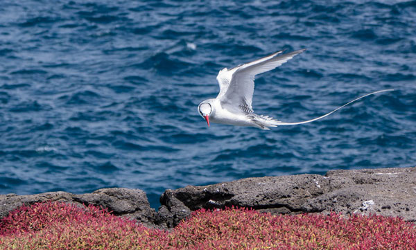 Galapagos Red-Billed Tropicbird