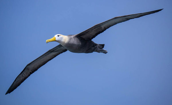 galapagos-waved-albatross