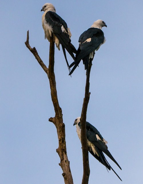 swallow-tailed-kites