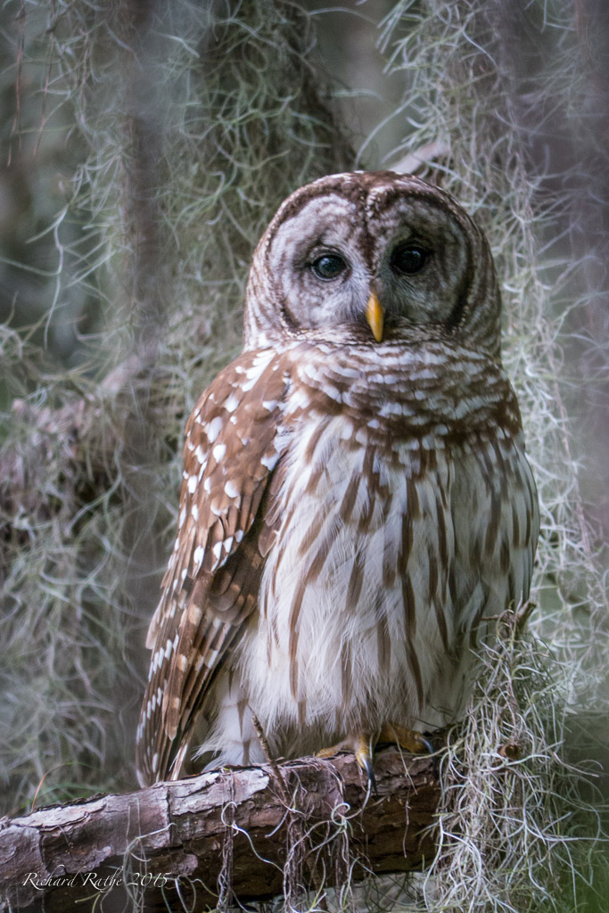 barred-owl-2015