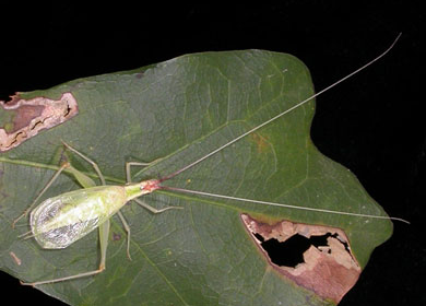 broad-winged-tree-cricket