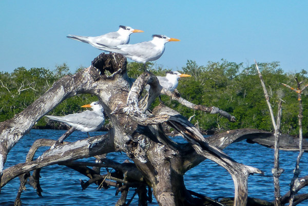 everglades-2016-terns